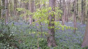 5 mile walk bluebell wood news